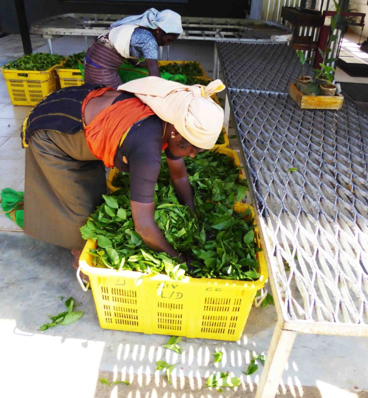 Tamil women sorting through tea leaves in Sri Lanka